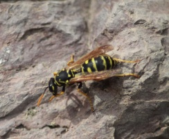Paper Wasp Cleaning Himself 114