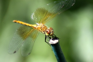 The Wings of the Dragonfly 297