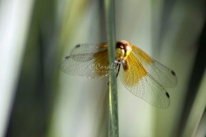 Wings of the Dragonfly 089
