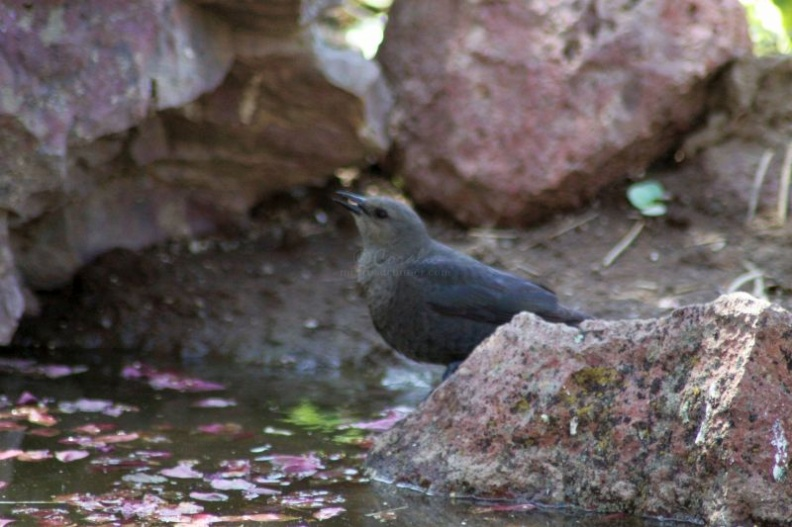 brewers_blackbird_getting_a_drink_126.jpg
