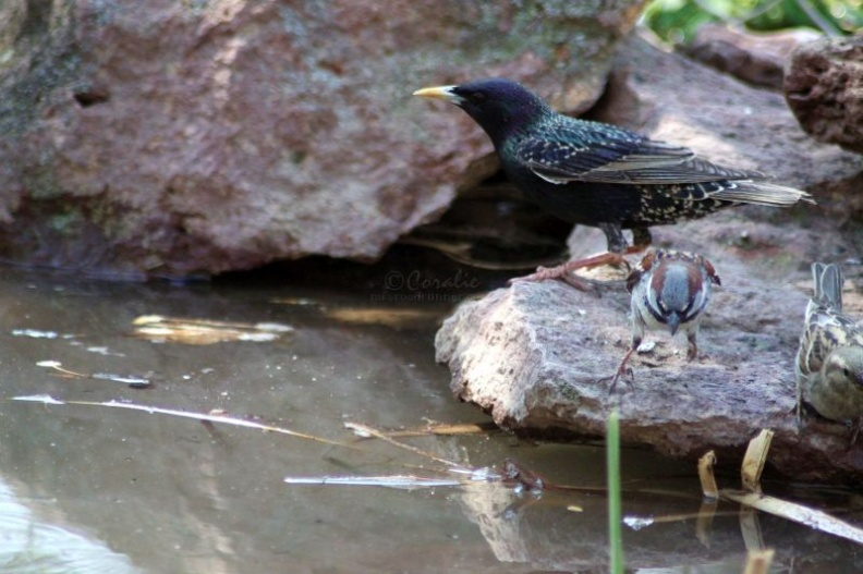 european_starling_bird_436.jpg