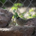 gold crowned sparrow bird 238