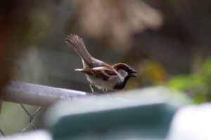 House Sparrow Mating Dance 436