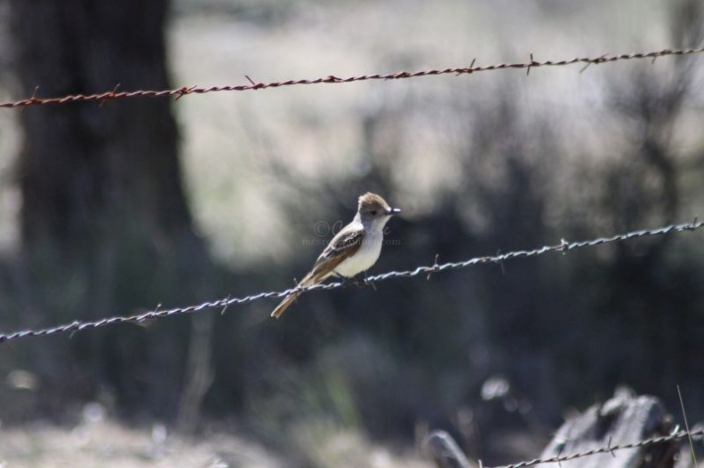 Jefferson_County_Oregon_KingBird_764.jpg