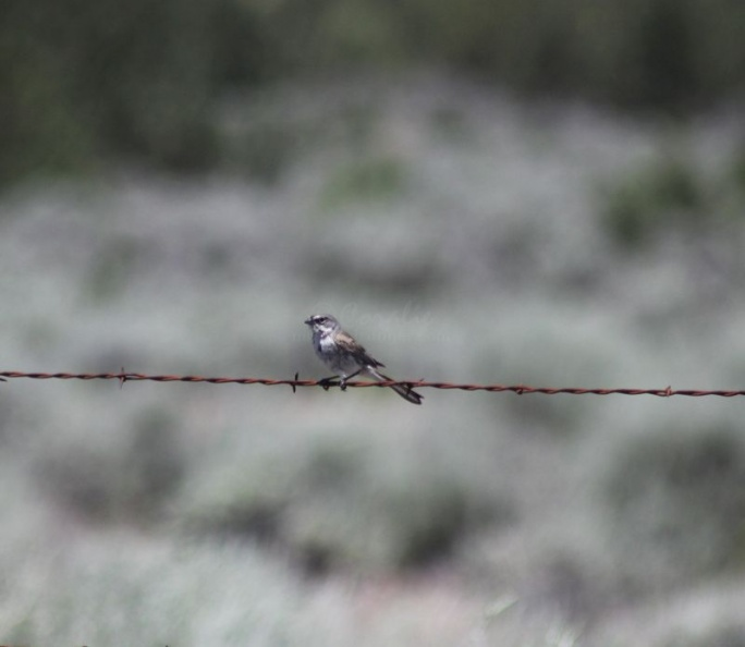 Jefferson_County_Oregon_Songbird_395.jpg