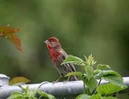 Red Male House Finch 1402