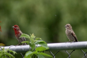 Red Male House Finch With Female 1402
