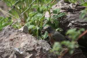 robin getting mud for nest 157