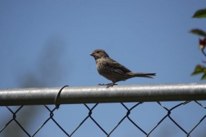 Songbird Female House Finch 058