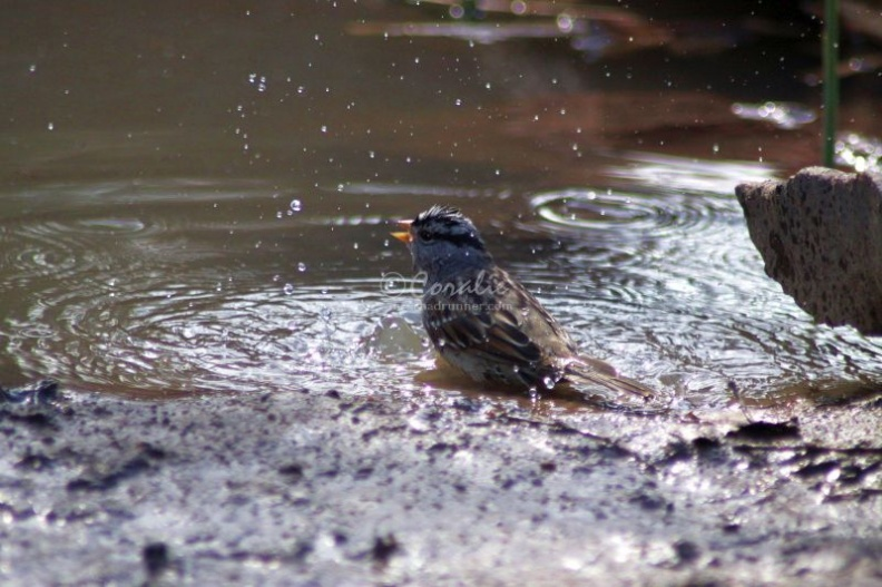 White_Crowned_Sparrow_Taking_Bath_1186.jpg