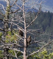 Golden Eagle Pair mrs twitter