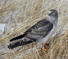 Northern Harrier 626twitter