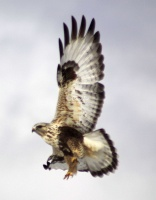 Rough-legged Hawk  740twitter
