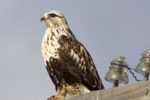 Rough-legged-Hawk-584twitter