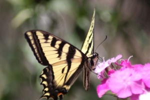 yellowtail butterfly on the sweet william flowers 1193