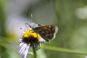 Common Checkered Skipper Butterfly 448