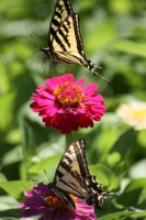 Yellow Swallowtail Butterfly on a Zinnia Flower 1111