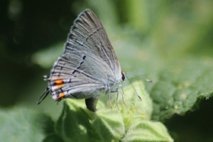 6 Gray Hairstreak Butterfly laying eggs 124