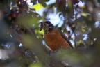 15 Robin Bird with Fledgelings worm 983
