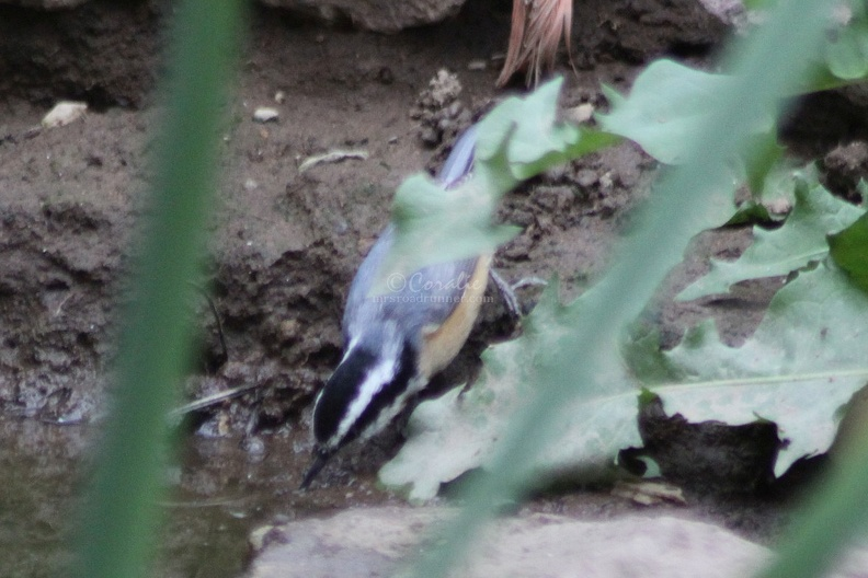 4_Red-breasted_Nuthatch_bird_114.jpg