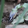 4 Red-breasted Nuthatch bird 114