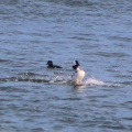 Bufflehead birds IMG 8624