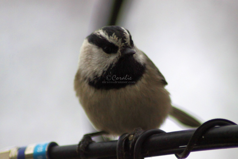 Chickadee_Bird_242.jpg