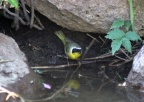 Common Yellowthroat Bird 894