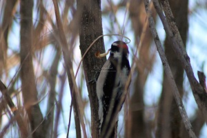 Downy Woodpecker bird 274
