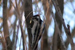 Downy Woodpecker bird 277