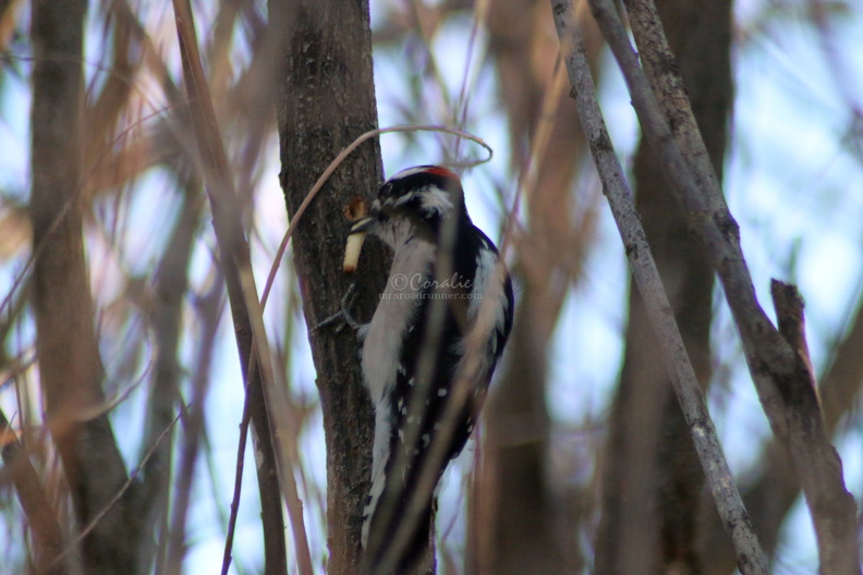 Downy_Woodpecker_bird_277.jpg