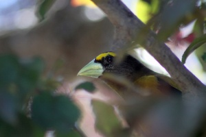 Evening Grosbeak Bird 1269