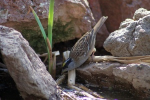 Gold-Crowned Sparrow Bird Getting Drink 288