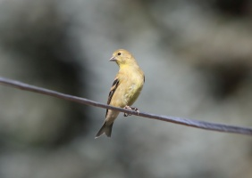 Goldfinch Bird 217