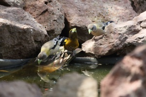 Male Female Evening Grosbeak Birds 993