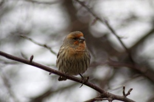Orange House Finch Bird 073