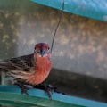 Red House Finch Bird 009