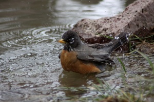 Robin Bird Taking Bath 1535