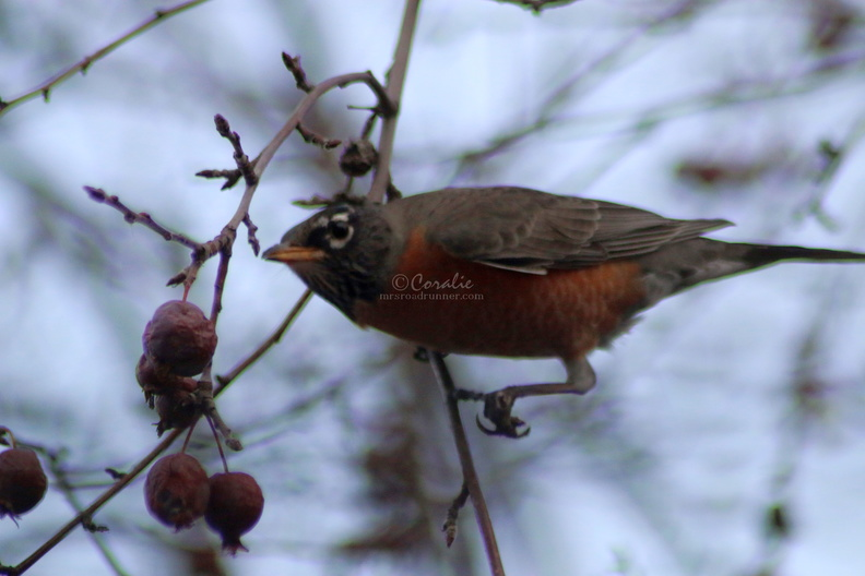 Robin_Bird_after_some_Lunch_039.jpg