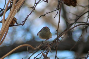 Ruby-crowned Kinglet bird 049
