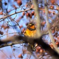 Varied Thrush Bird 078