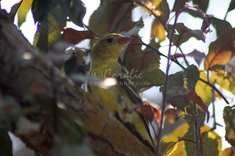 Western_Tanager_Bird_057.jpg