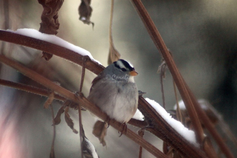 White-Crowned_Sparrow_bird_020.jpg