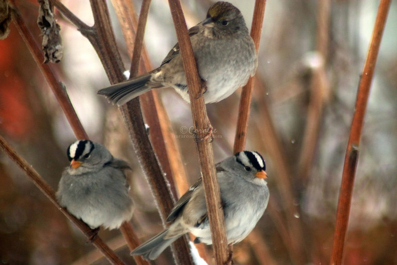 White_and_Golden_Crowned_Sparrow_birds_006.jpg