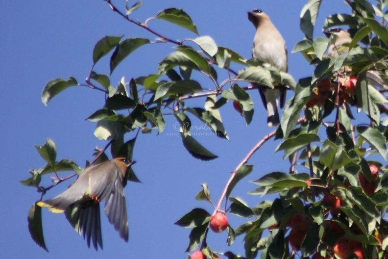 cedar_waxwing_bird_in_the_apple_tree_336.jpg