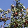 cedar waxwing bird in the apple tree 375