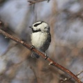 chickadee bird 079