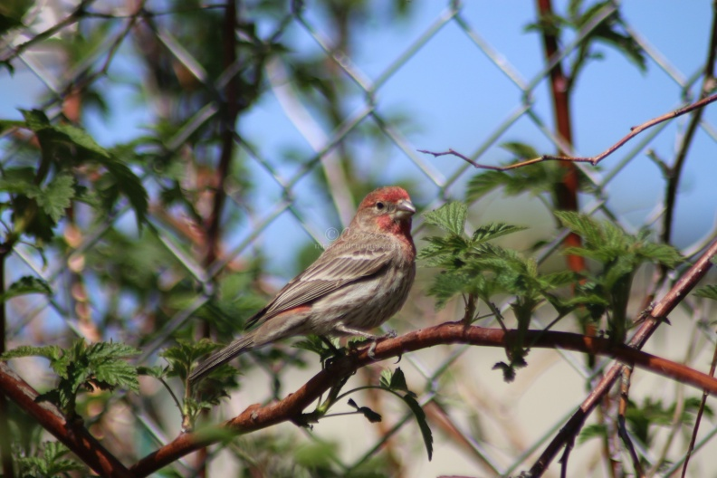red_finch_bird_038.jpg