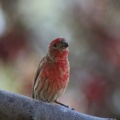 red finch bird 194