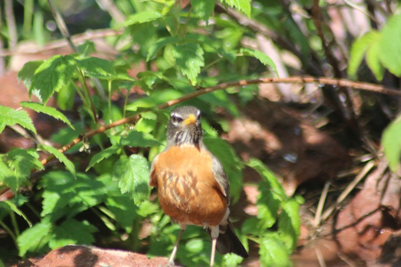 robin_bird_at_the_pond_016.jpg